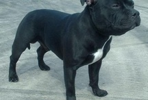 Staffordshire Bull terriers... Amazing