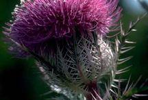 Scottish Flowers