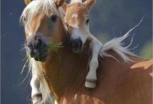 Heste / Hest