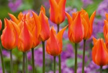 Bold & BrilliantTulips