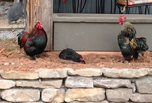 Cats & Chickens / Part of the fun of visiting Hubba Hubba is watching the wild life - like our Cochins and cats