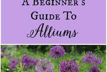 flower - alliums