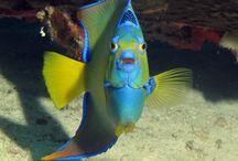 Fish of Abaco, Bahamas / Abaco, Bahamas fish ID / by Barefoot Sister