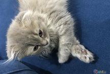 Kedi ilanları / Satılık veya ücretsiz olarak sahiplendirilen kedi ilanları.