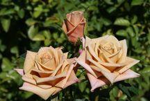 Roses / Rose names etc