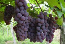 como plantar uva em casa e podar