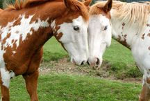 Paint and Pinto horses / Spotted horses of all breeds