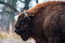 Żubry - Polish Bisons