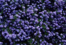Blue garden plants