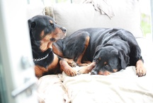 Rotties / by Middendorf Animal Hospital