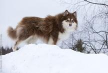 Finnois de Laponie