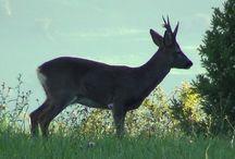 Corzos / Fotos de corzos (capreolus capreolus, deer), principalmente en Asturias.
