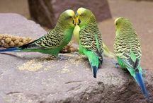 Muhabbet kuşu bakımi