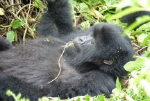 Gorilla Tracking at Bwindi Impenetrable Forest / What an amazing experience to exchange eye contact with these giant apes