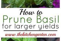 prune of basil
