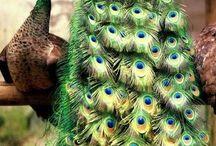 Păuni - Pavo real / Cea mai elegantă pasăre !!!!!