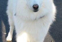 Amerikan eskimo köpeği
