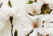 magnólia flor