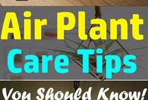Air plant's