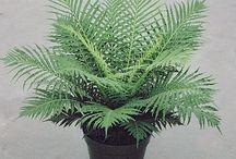 fern variety