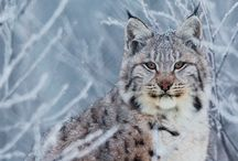 Lynx / I love you fav by far animal love the tips on the ears