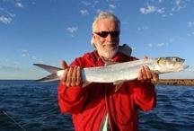 HERRING / Herring on the fly.  Fly fishing for herring.
