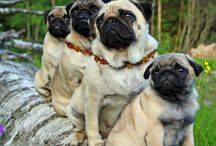 Pugs and love