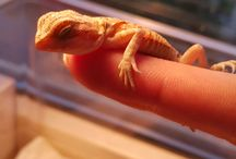 Stanley The Bearded Dragon
