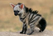 z Animals Hyenas:  spotted hyena,  brown hyena,  striped hyena, aardwolf