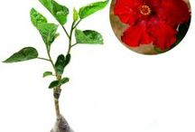 Hibicus / Semua tanaman dalam board ini bisa dikirim keseluruh Indonesia, silahkan order ya, tel: 0341-599399 I SMS center: 08569020300 atau kunjungi website kami www.kebunbibit.id
