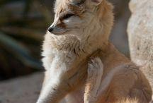 My really random odsession whit Fennec fox
