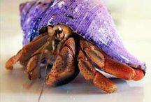 Umang umang (Hermit crab)