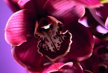 Cymbidium close-up
