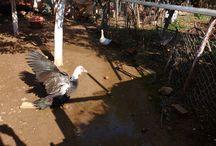 My muscovy ducks