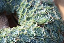 Gardening Succulents and Cacti