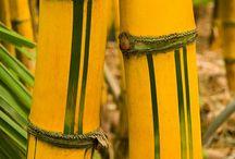 Bamboo......