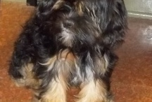Pets to Adopt for my Mother / I am looking for a small dog for my mom to adopt, a rescue dog. Has to be under 20 lbs. Lhasa Apso dogs seem really cool, and maybe other breeds? Recommendations?