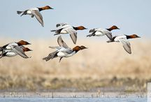 Waterfowl and other birds