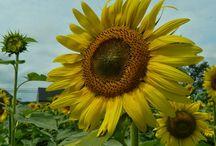 Sunflower Eyes Designs