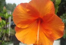 Hawaiian Flowers / Hawaii has such georgeous flowers.  Here's a few that grow in our yard.   / by Jackie Marilla, Romance Author