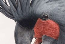 Black palm cickatoo