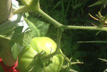 Garden garden garden / Veggies