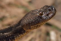 nice Rattle snake / 1