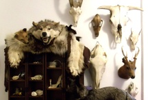 Taxidermy / For my love/obsession with taxidermy.