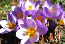 Η χλωρίδα της Πάρνηθας / Η χλωρίδα της Πάρνηθας, εντυπωσιακή σε πλούτο, αφού την αποτελούν περισσότερα από 1.000 φυτικά είδη, μεταξύ των οποίων κρίνοι, κρόκοι, παιώνιες, καμπανούλες, ορχιδέες κ.ά αριθμός που αποτελεί το 1/7 των ειδών της ελληνικής χλωρίδας.