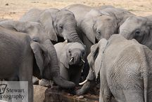 """Stewart Photography encounter Elephants / Here are a selection of elephant pictures taken on the Stewart Photography Wildlife and Photographic """"Big Five"""" Safaris"""