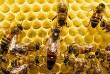 bee / abelhas, colaboração, sociedade