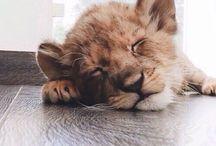 Cuccioli di leoni