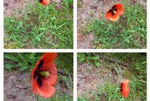 Φύση /Nature / Παπαρούνες /Poppies