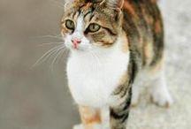 Aegean cat / Cat